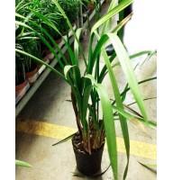 Faded Cymbidium Orchid