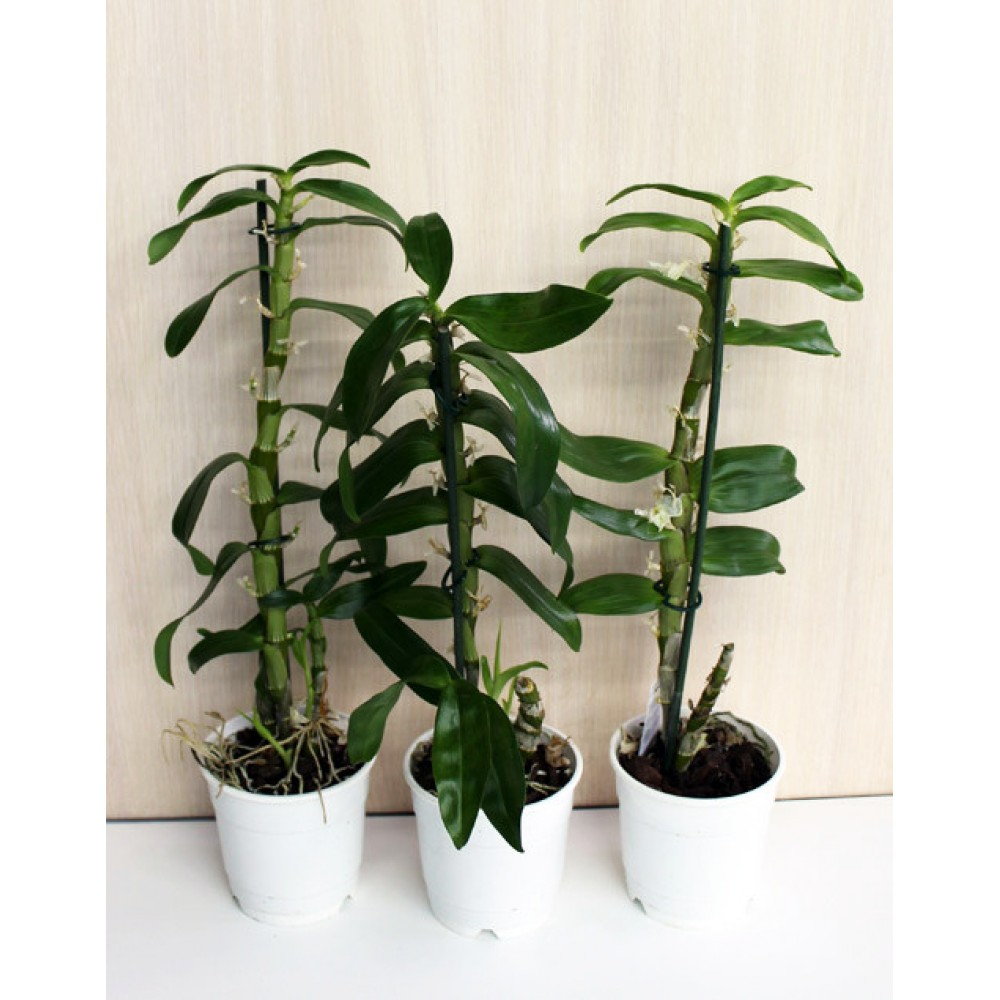 Орхидея Дендробиум отцветшая
