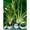Орхидея Мильтония отцветшая