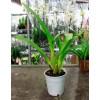 Орхидея Онцидиум отцветший