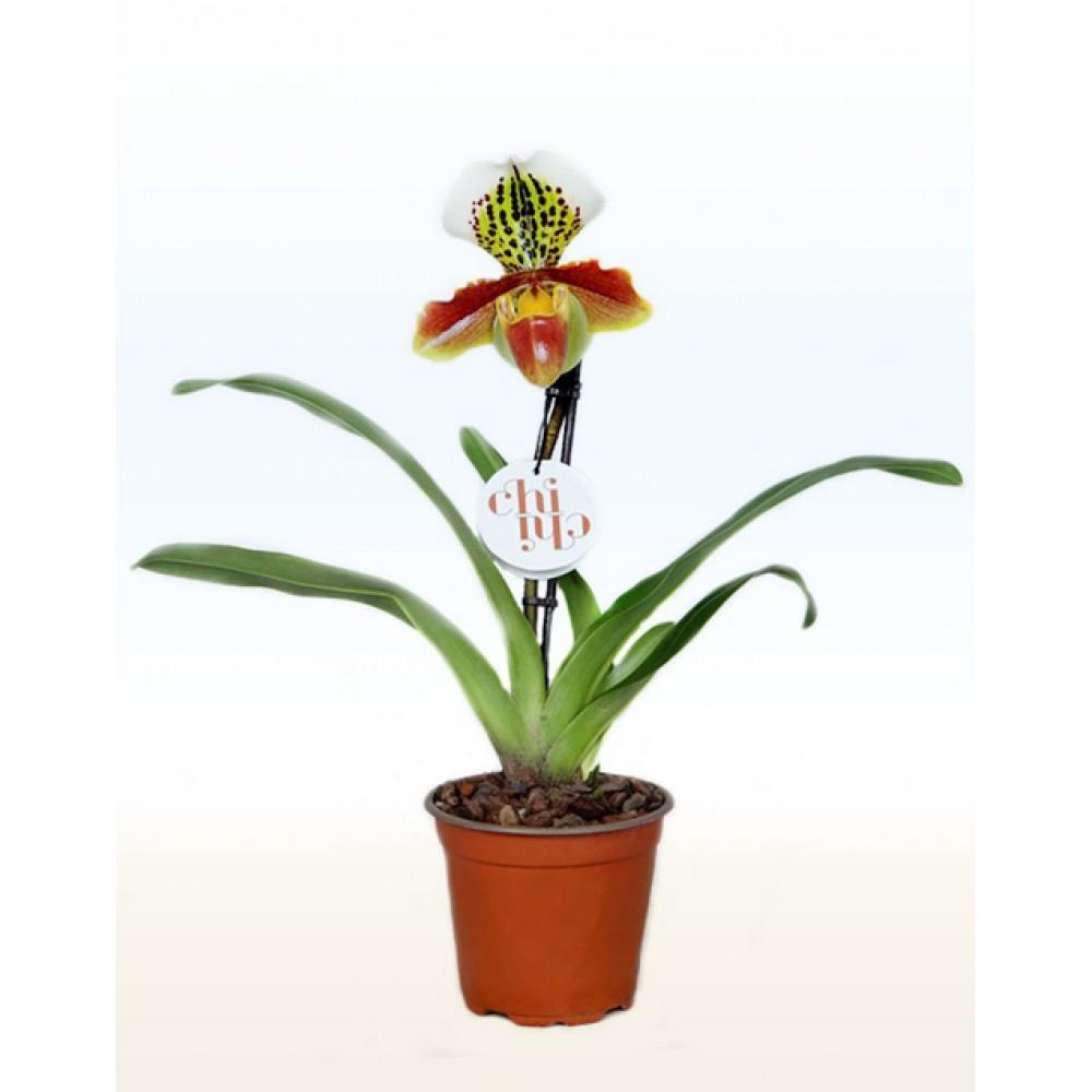Орхідея Пафіопеділум (Черевичок)