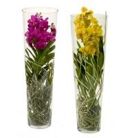 Orchid Vanda Lisanne in a flask