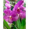 Орхидея Ванда Lisanne в колбе