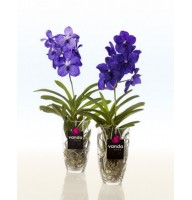 Orchid Vanda Charlotte