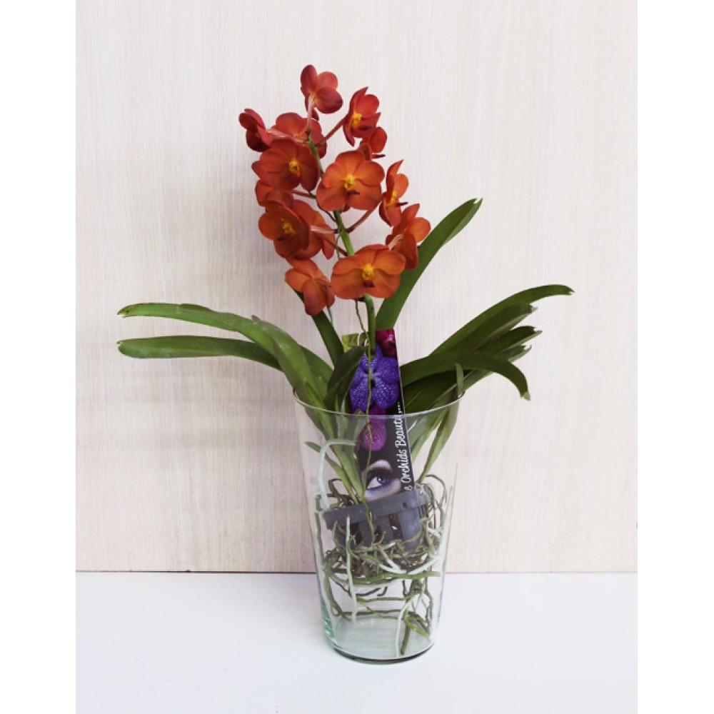 Орхидея Ванда Charlotte
