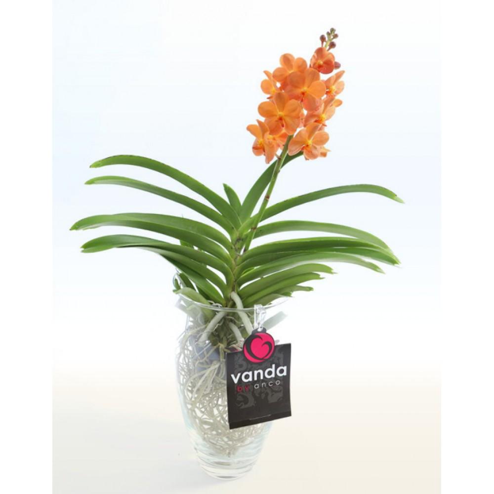 Орхідея Ванда Charlotte