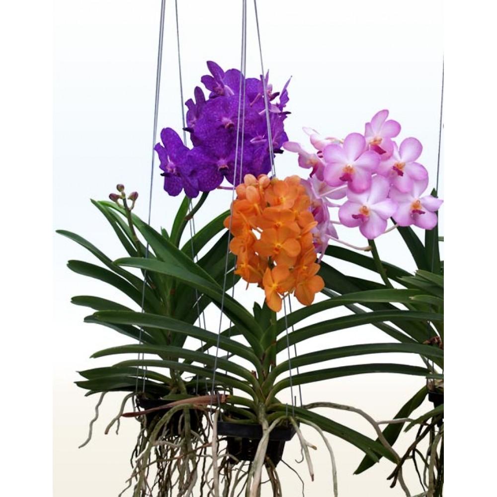 Орхідея Ванда підвісна L