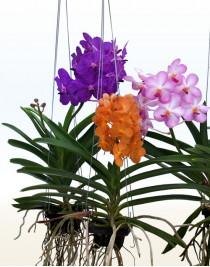 Орхидея Ванда подвесная L