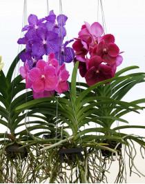 Орхидея Ванда подвесная XL
