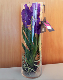 Orchid Vanda Michelle in a tube 50 cm