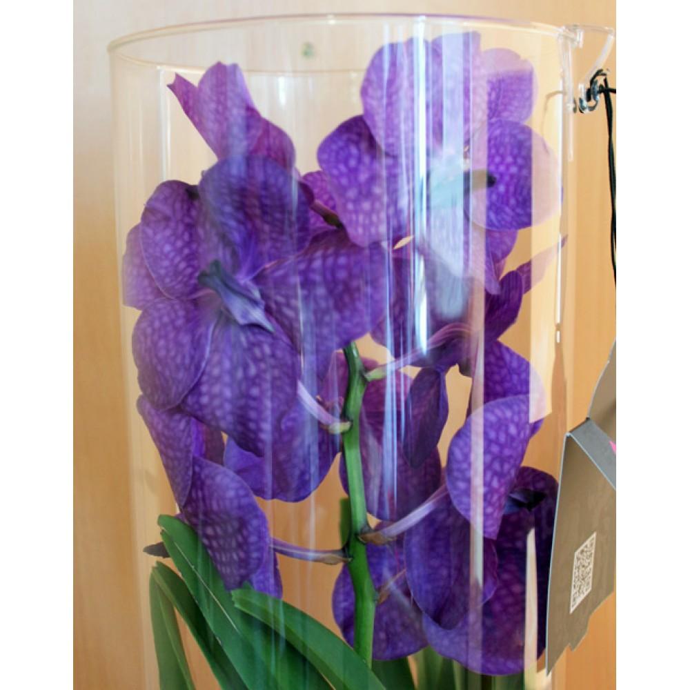 Орхидея Ванда Michelle в тубусе 50 см