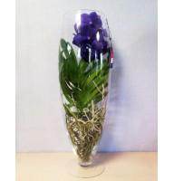 Орхідея Ванда в скляному келиху, 70 см