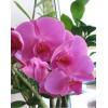 Phalaenopsis Royal Orchid