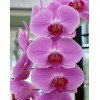 Орхідея фаленопсис Королівський
