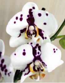 Dalmatian midi orchid (55 cm)