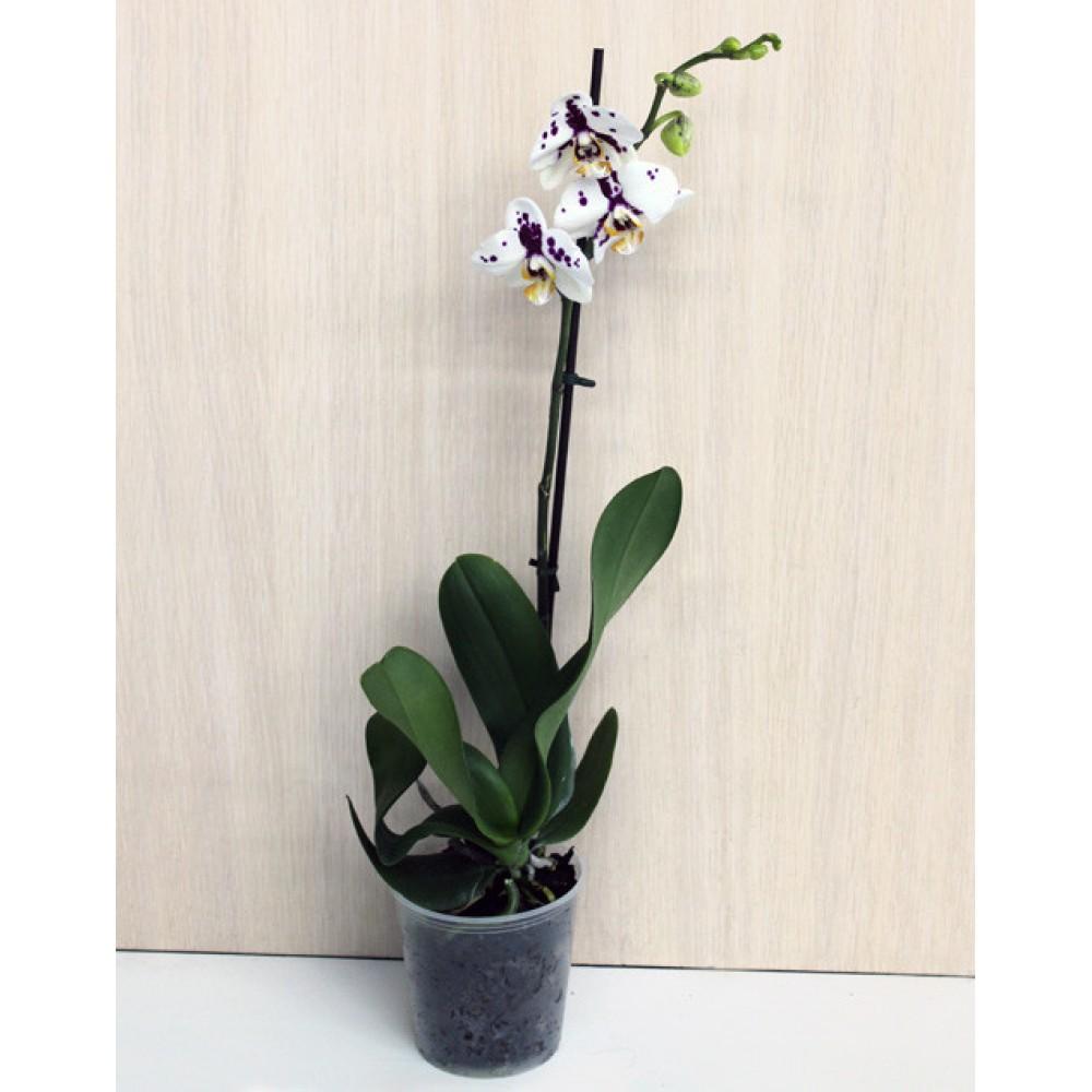 Міді-орхідея далматин (55 см)