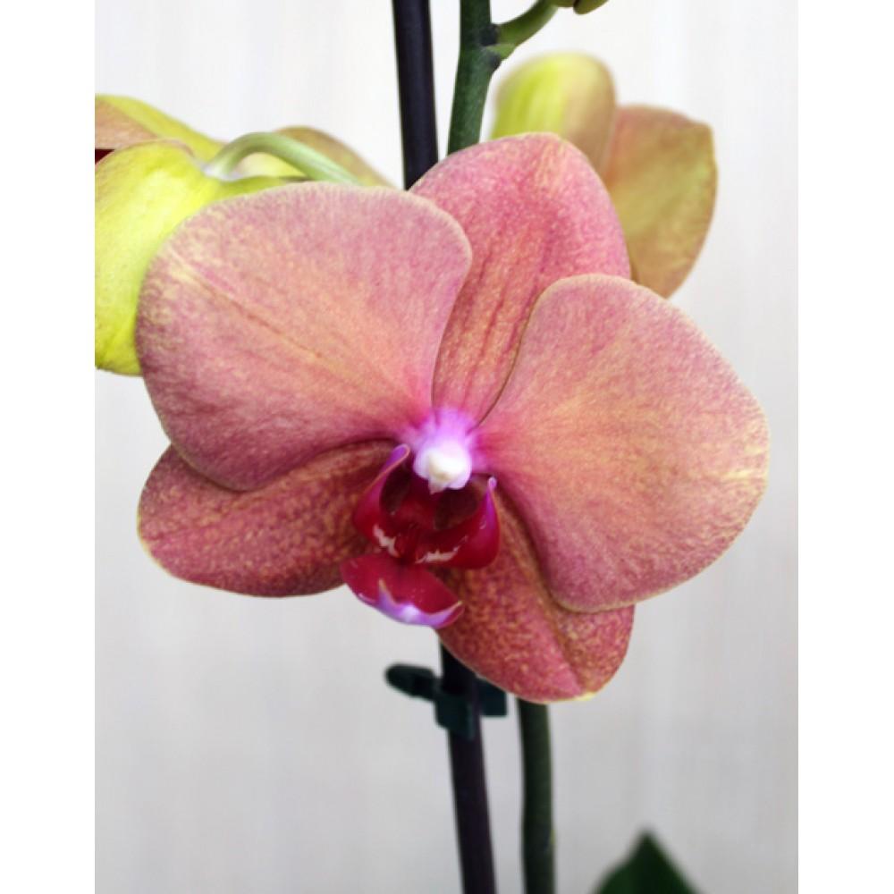 Миди-орхидея кирпичная (55 см)