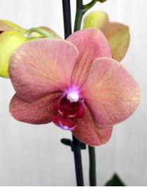 Brick midi orchid (55 cm)