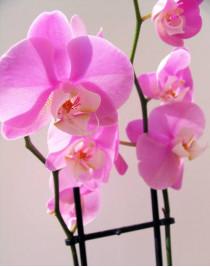 Midi-orchid pink (55 cm)