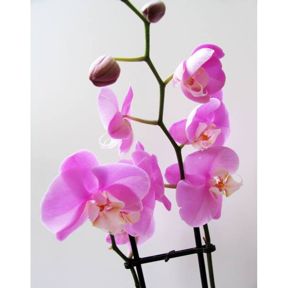 Миди-орхидея розовая (55 см)