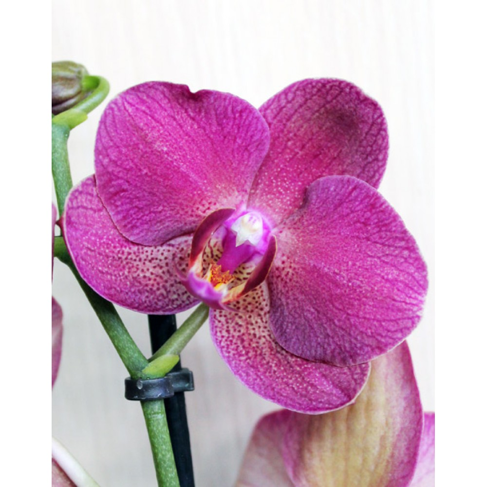 Миди-орхидея фиолетовая (55 см)