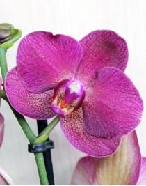 Midi-orchid purple (55 cm)