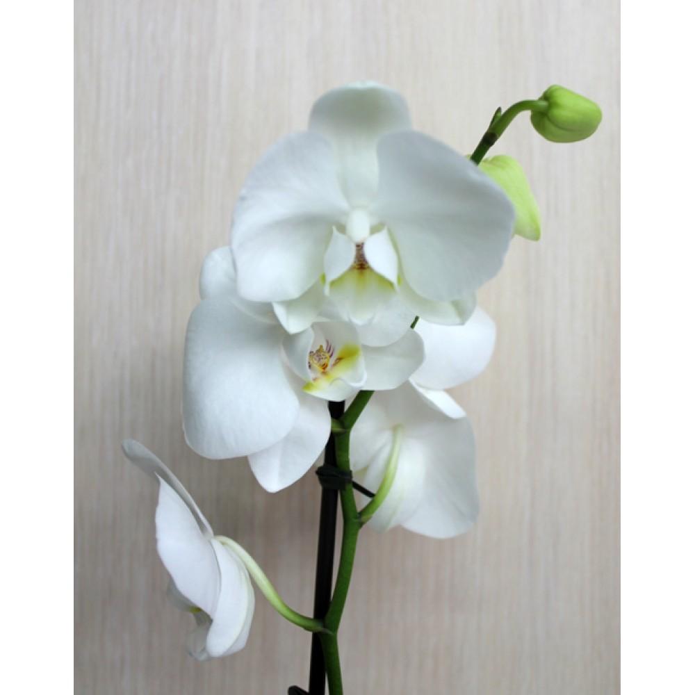 Миди-орхидея белая (55 см)
