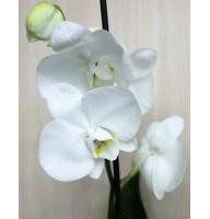 Міді-орхідея біла (55 см)