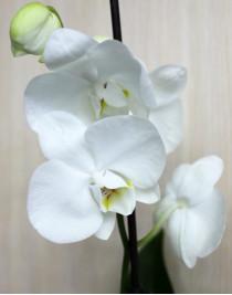Midi-orchid white (55 cm)