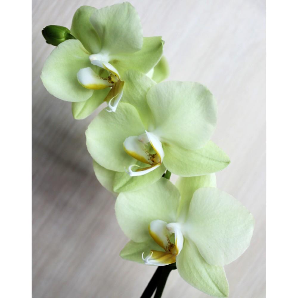 Миди-орхидея желтая (55 см)