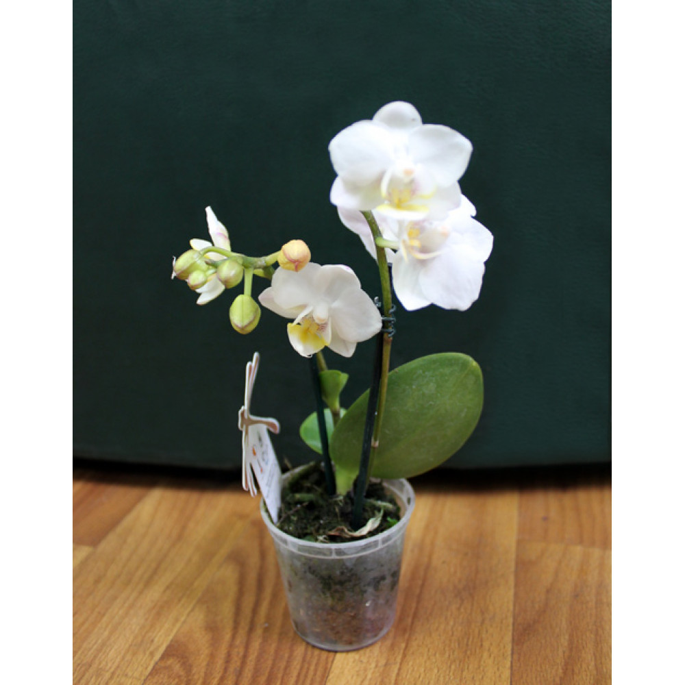 Mini orchid (assorted colors)