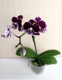 Міні-орхідея (різних кольорів)