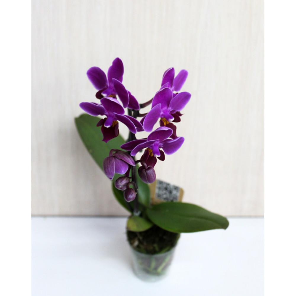 Мини-орхидея (разных цветов)