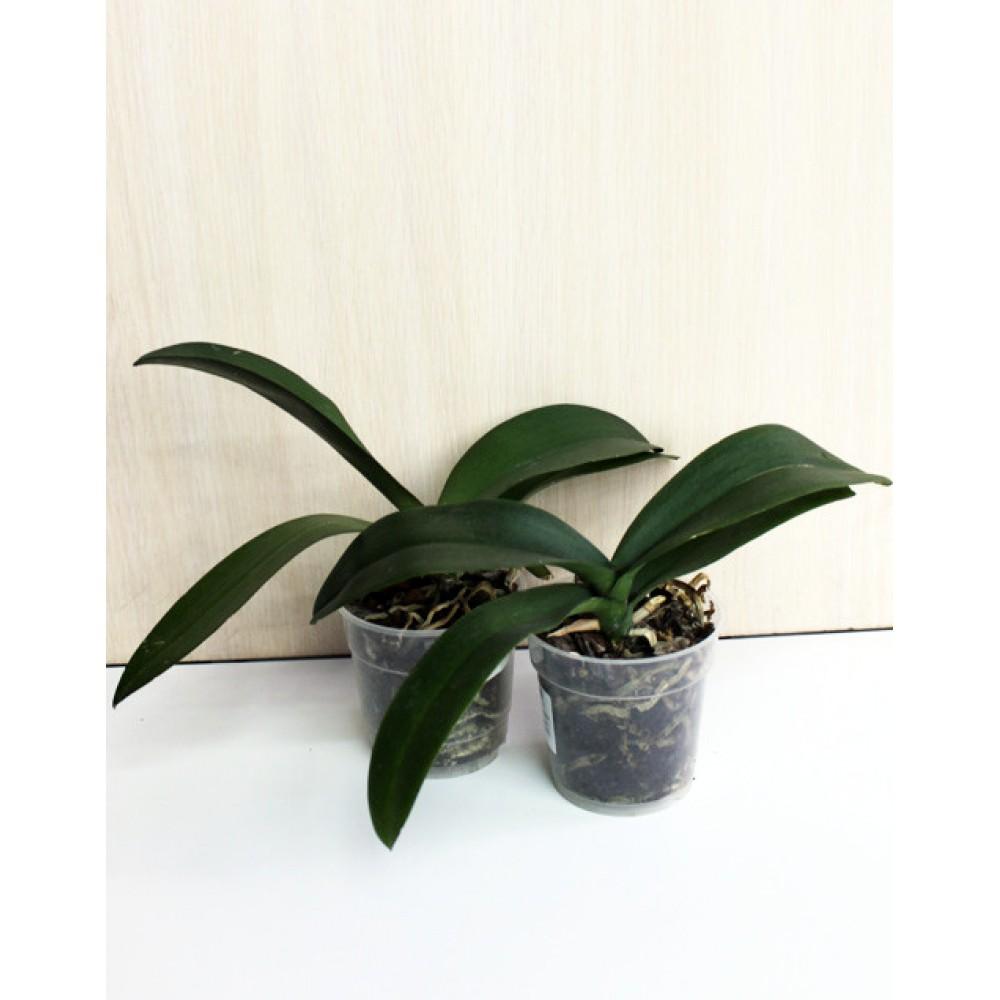 Міні орхідея фаленопсис відцвілий