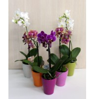 Mini orchid in a ceramic pot
