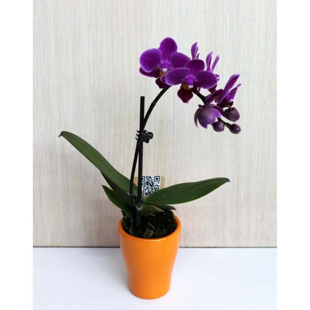 Міні-орхідея в керамічному горщику