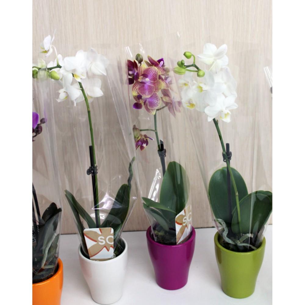 Мини-орхидея в керамическом горшке
