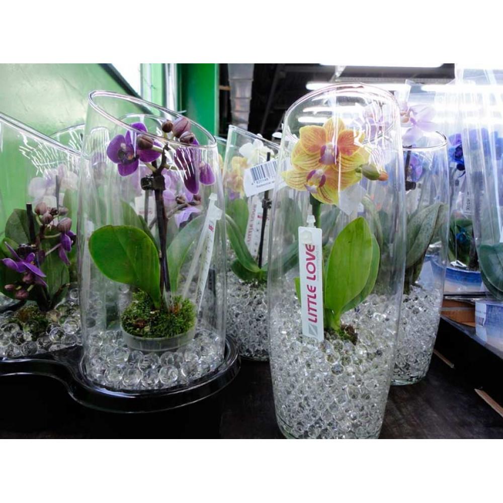 Мини-орхидея в стеклянной вазе