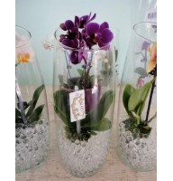 Mini orchid in a glass vase