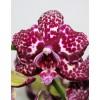Орхидея фаленопсис Дикий Кот