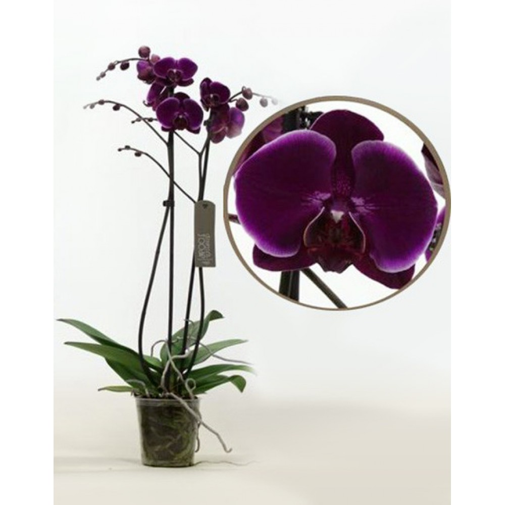 Phalaenopsis Orchid Alfonso