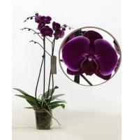 Орхидея фаленопсис Alfonso