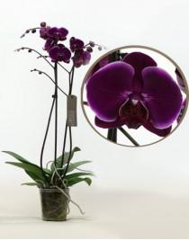 Phalaenopsis Orchid Alfonso