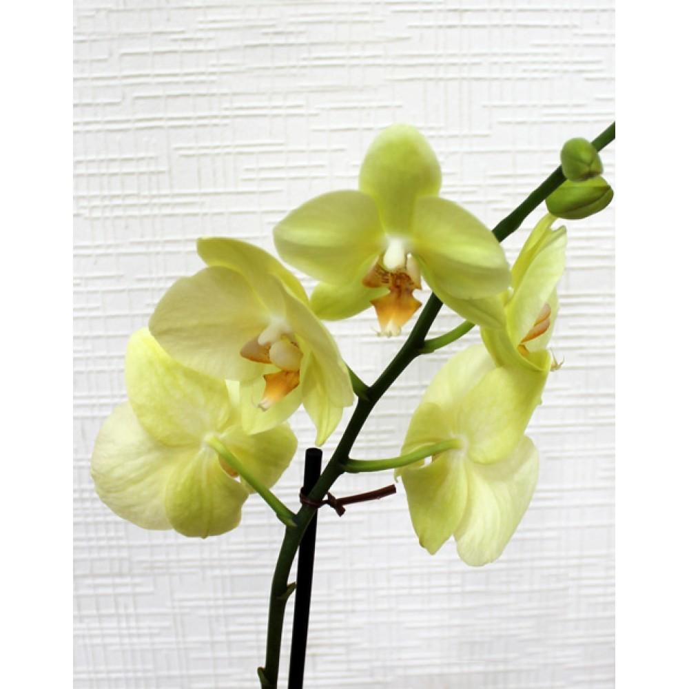 Орхідея фаленопсис Amadeus