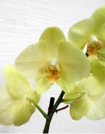 Phalaenopsis Orchid Amadeus