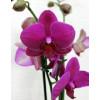 Орхідея фаленопсис Amold