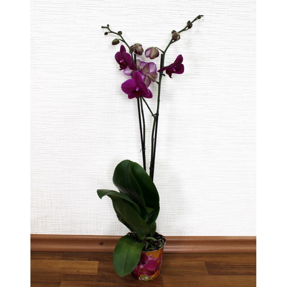 Phalaenopsis Orchid Amold