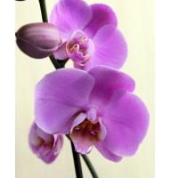 Орхидея фаленопсис Annet