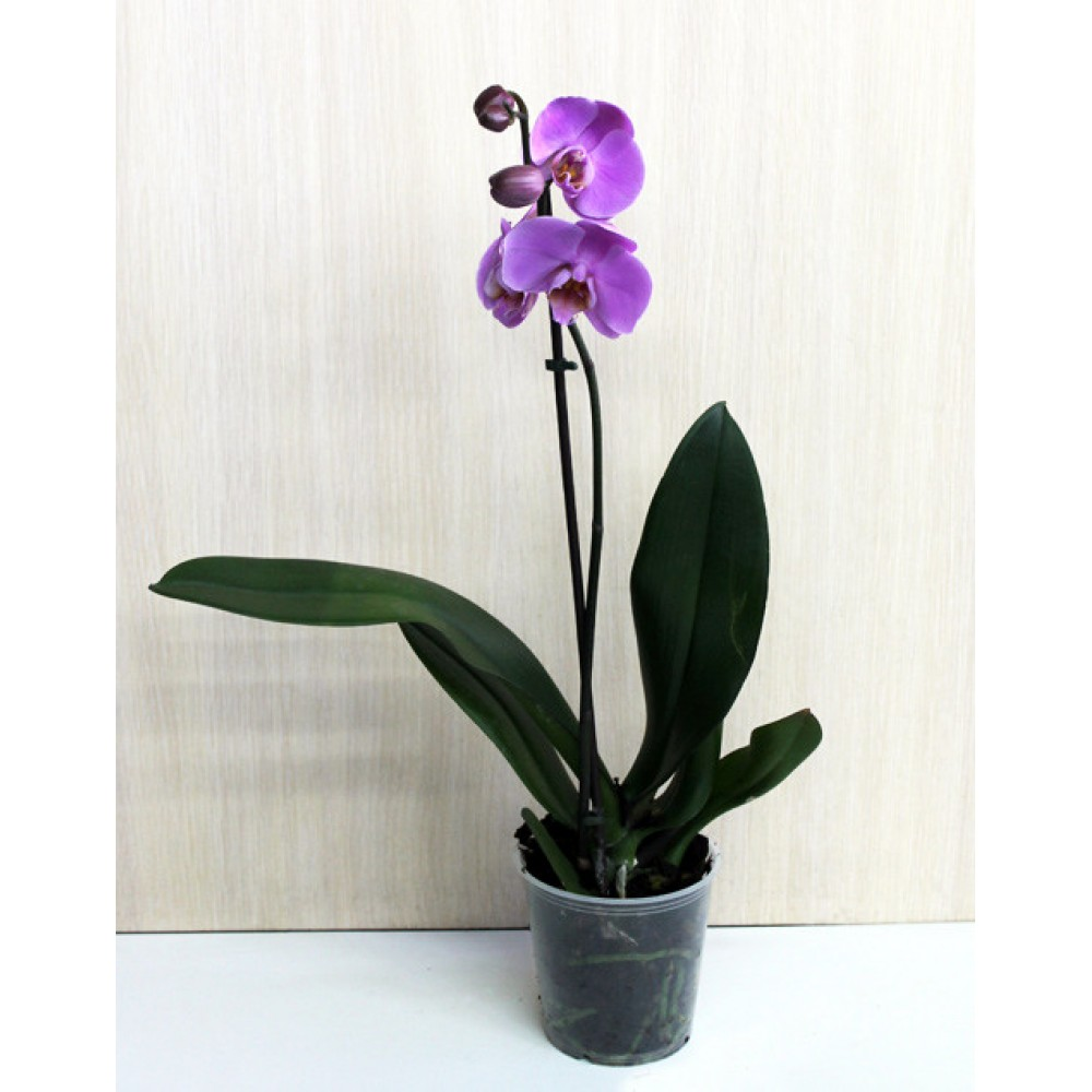 Phalaenopsis Orchid Annet