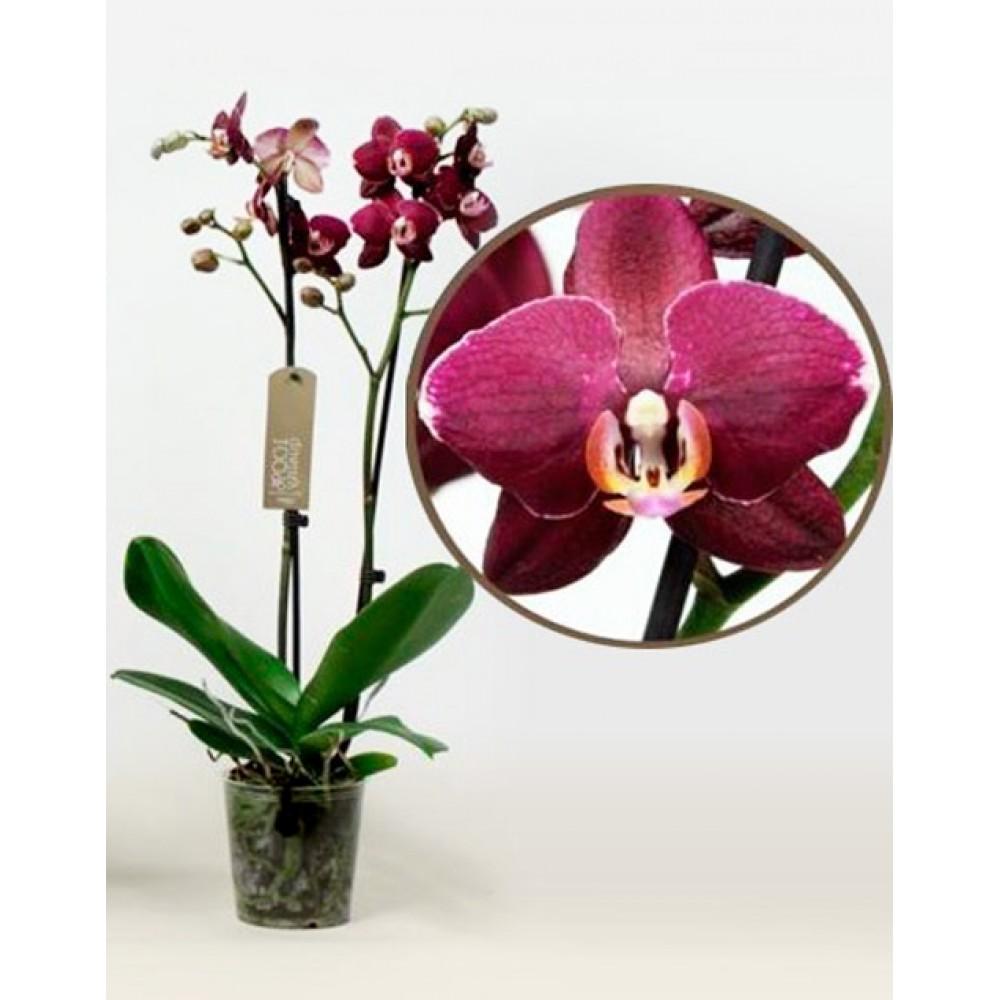 Орхидея фаленопсис Aranka Red